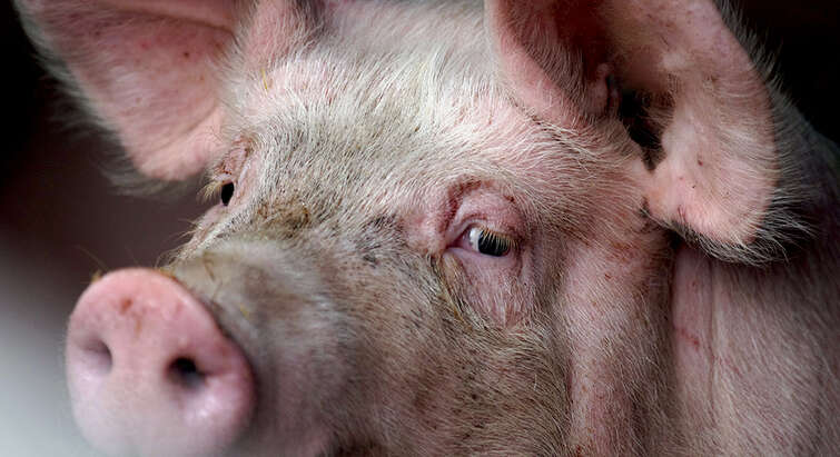 Close-up of a pig's face