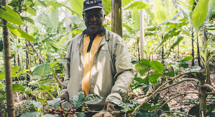 A farmer is holding a branch with coffee beans in a forest like environment